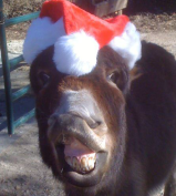 Miniature Donkey in a Santa Hat