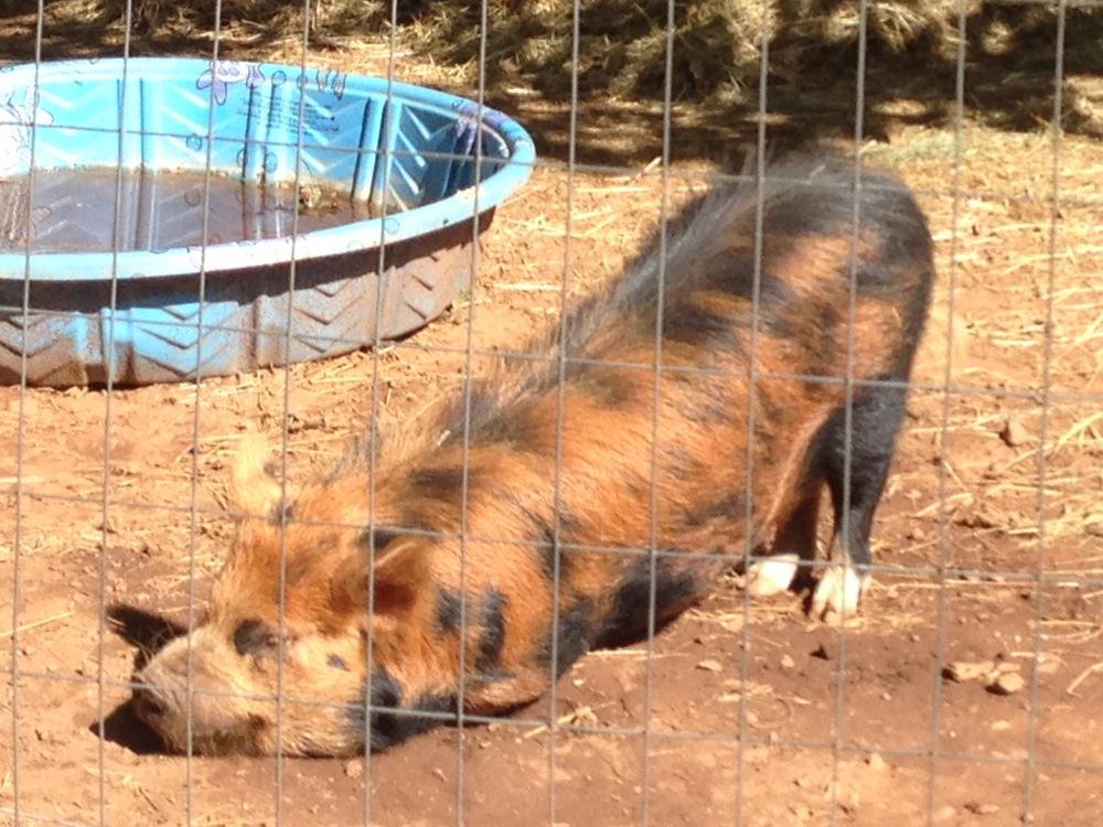 downward pig