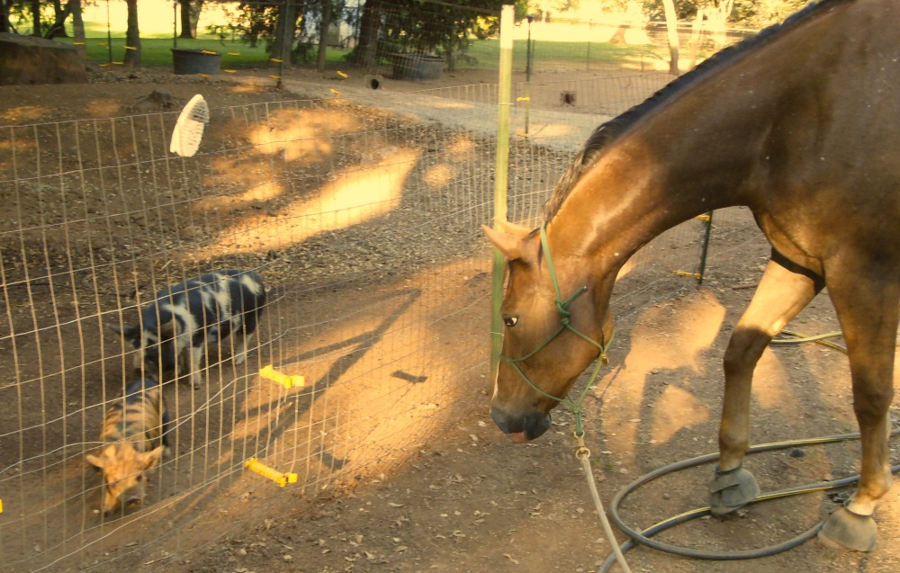 Horse learning to accept pigs