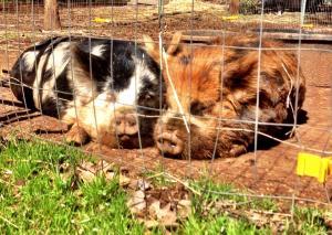 Kunekune pigs napping